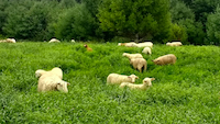 sheep meadow farm
